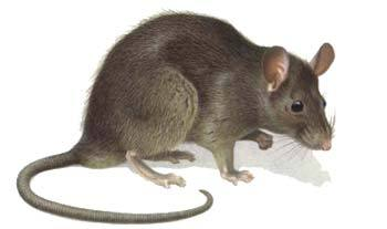 Deratizace - krysa obecná