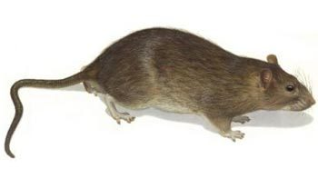 Deratizace - potkan