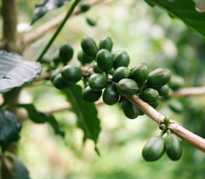Zelená káva - Vito Grande